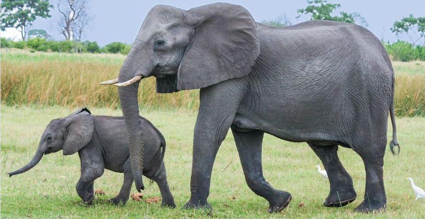 Elephans baby