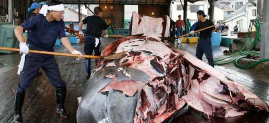Baleine Japon meat