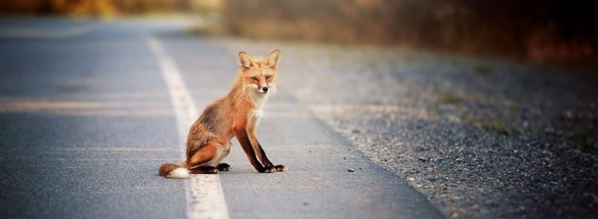 Fox on road