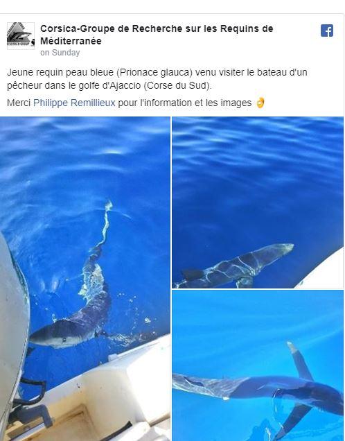 Blue shark II